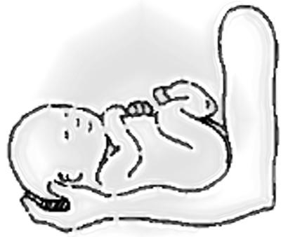Fetus height in 40 weeks