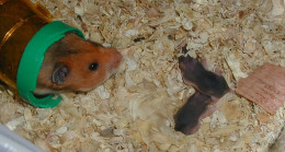 Mother Hamster With Her Two Babies In This Photo