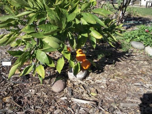 Dwarf Satsuma mandarin orange tree in December.