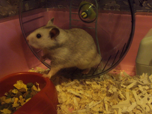 Hamster on his wheel listening to see what is going on.