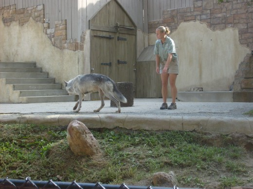 Jack Hann's wolves at Busch Gardens