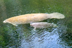 Manatees at Blue Spring State Park Florida