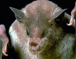 The Lesser long-nosed bat is the most abundant species observed in the Mareña Renovables Wind Power Project site.
