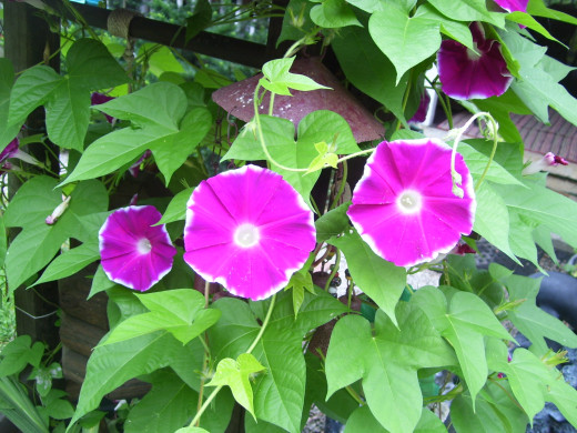 Morning Glories!