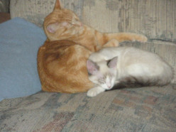 "That's me, Jigsaw Puzzle, trying to catch a few z's, with one of my sisfurs, ""Lil Miss"" thinking I'm her private pillow!"