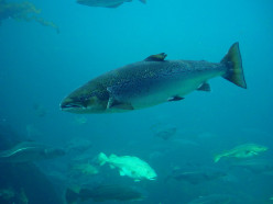 The Atlantic Salmon's Life Cycle