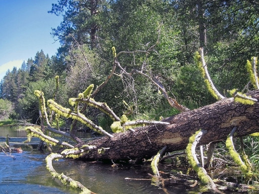 Tree roots and branches provide perfect cover for fish and present a challenge to inexperienced fishermen.