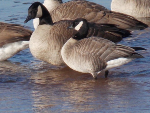 Cackling Goose(bottom) with Canada Geese (top)