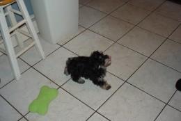 Havanese Puppy - Pepe