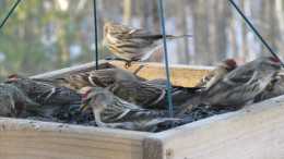 Common Redpolls in tray feeder.