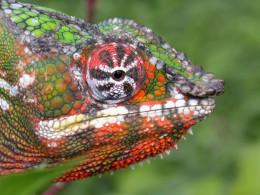 Beautiful Male Panther Chameleon