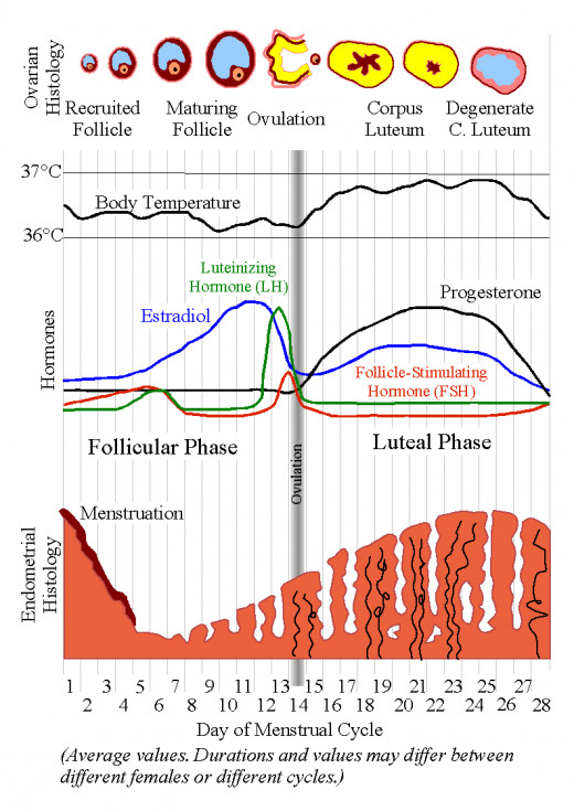 Basal body temperature increases during ovulation and remains high until the next menstrual cycle occurs. In pregnancy, the BBT will remain elevated.