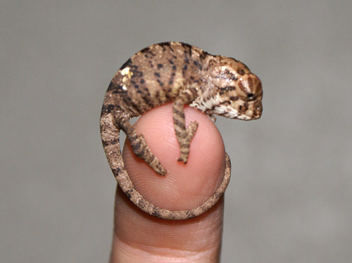 Baby Or Hatchling Panther Chameleon. yes its setting on a finger.