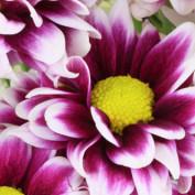 Dahlia Flower profile image