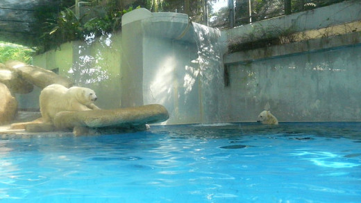 Polar bears at Singapore Zoo