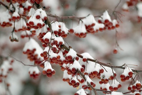 Cheery red berries peek from beneath snow-covered boughs.