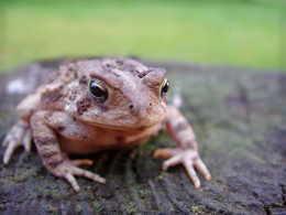 Beneficial toads eat beetle bugs and other garden pests!