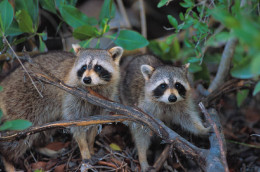 Handle raccoons with extreme caution! Cute as they are, they can also be quite vicious and tend to carry rabies!