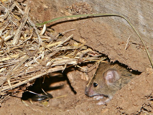 In this photo is a wild field mouse. Its there but it is hard to see. This is how wild mice stay hidden.