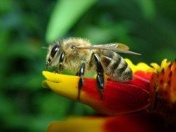 The Life Cycle of the Western Honey Bee