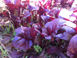 Bull's Blood Beet add color to your landscape and your salads.