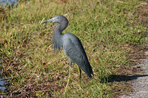 Non-breeding adult Little Blue Heron in the Everglades