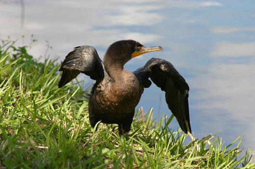 Double crested cormorant (Phalacrocorax auritus) spreading its wings.