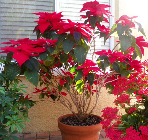 Four year old red Poinsettia