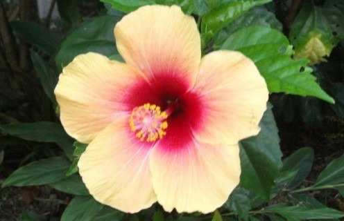 An Hibiscus Flower