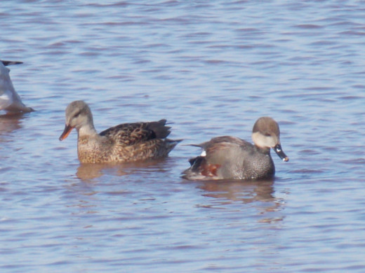 Gadwalls--male on right, female on left