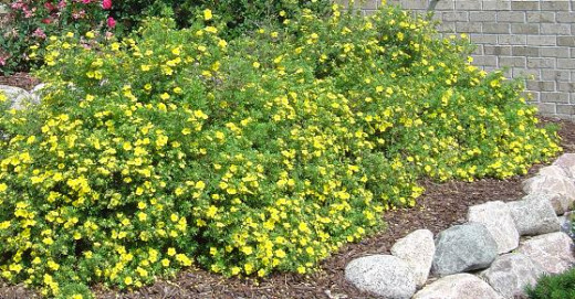 Common shrubs for Common landscaping shrubs