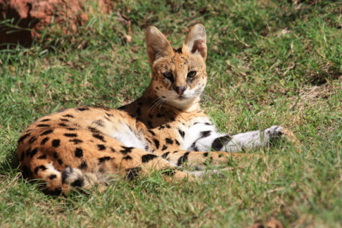 Serval - Phot shot through glass.