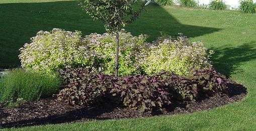 Goldmound spirea looks great against a dark plant like Palace Purple Heuchera.