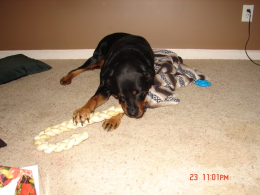 This is a picture of my dog Laila.  This is a large bone we got for her for Christmas. She is a sweet heart and sleeps all over the house.