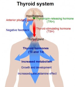 TSH is secreted by the pituitary gland in the brain. The TSH levels vary in response to signals from higher centers in the brain, and to feedback from the thyroid itself.