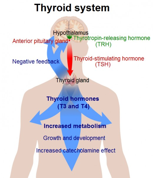 This figure shows what happens when the body produces more thyroid hormone. However, in the condition of hypothyroidism, the thyroid hormones are decreased and the body and its metabolism slows down.