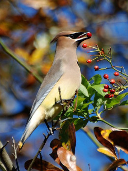 Waxwing eating berries.