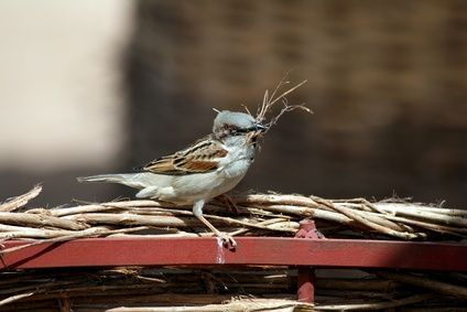 House sparrow gathering nesting material.