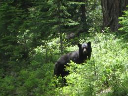 Black bears inhabit Acadia