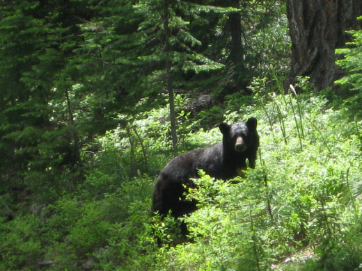 Black bears inhabit Acadia