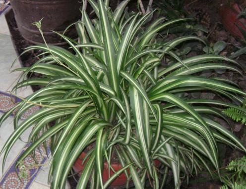 Spider Plant (Chlorophytum comosum 'Vittatum')