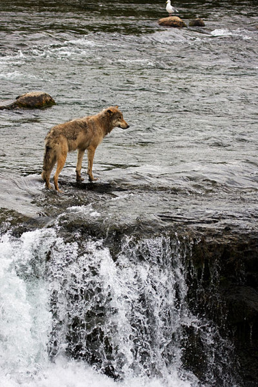 Wolf at Brooks Falls in Katmai National Park, Alaska.