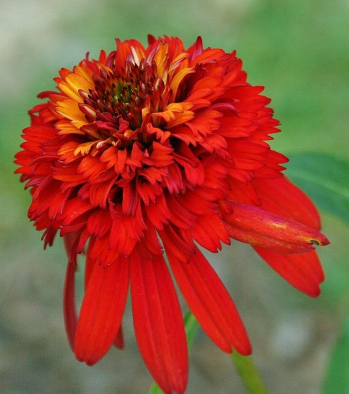 Hot Papaya has a full, zinnia-like pom-pom center.