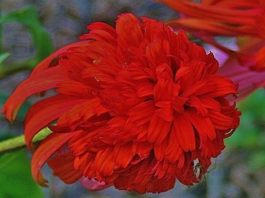As the coneflower blooms age, their pompoms loosen and darken to a deep orangy-red.