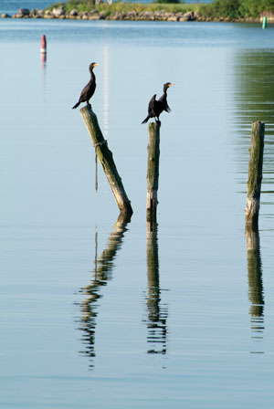 Cormorants on Frenchman's Bay, Pickering
