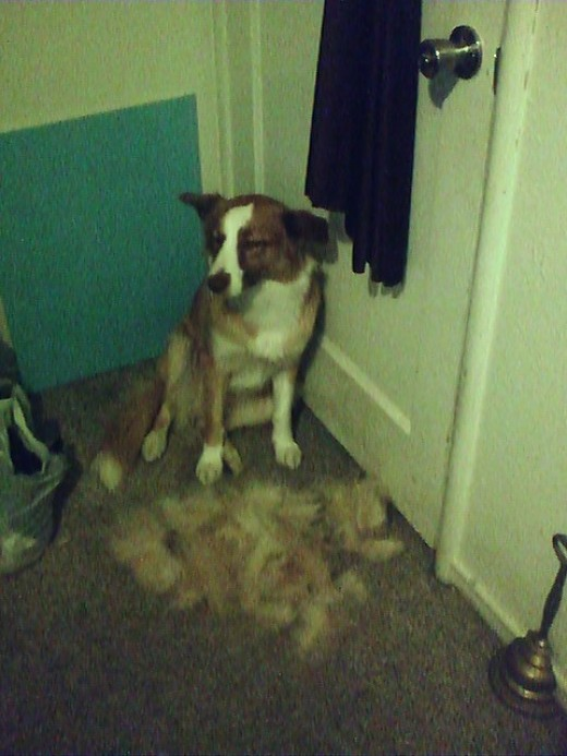 "My border collie Karma after being ""de-furred"". She wasn't all that happy after the initial furminator job I did but she sure looks better!"