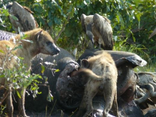 Elephant snack: Vultures and Hyhenas in Kruger