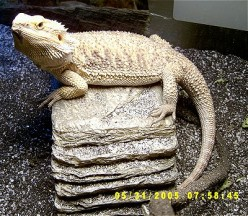 Bearded Dragon Pet Care