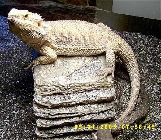 regular bearded dragon