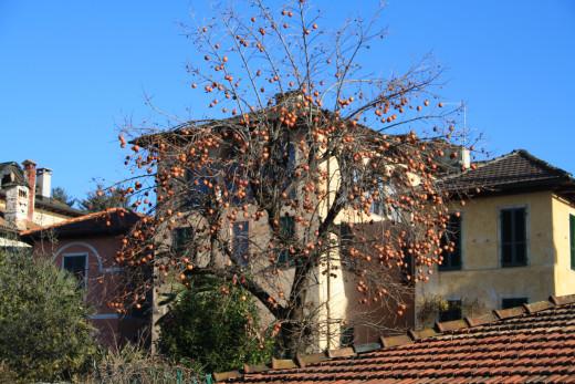 Lago d' Orta (Lake Orta), Kaki Fruit Tree, Italy